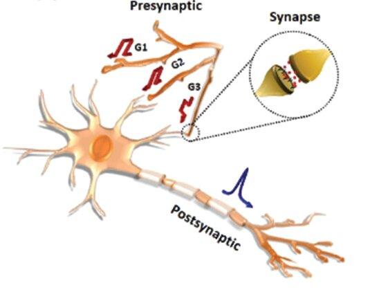 Développement de transistors à neurofibres artificielles implémentables en réseau dendritique